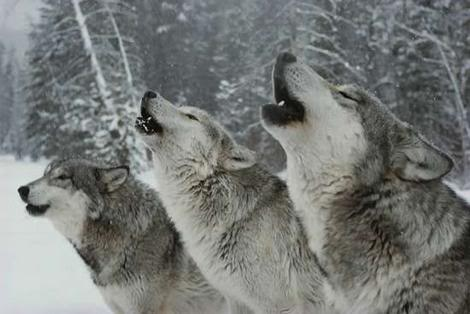 Grand Howl